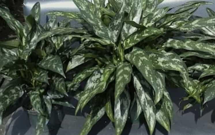 Aglaonema costatum (Ребристая)