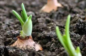 Чем подкормить лук весной для хорошего урожая