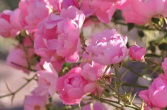Как правильно посадить розу из черенка