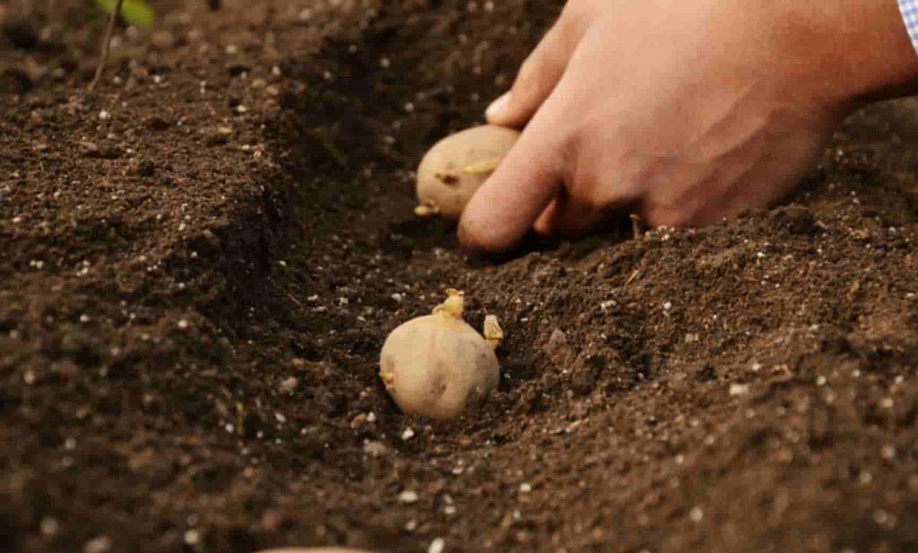 Технология посадки картофеля