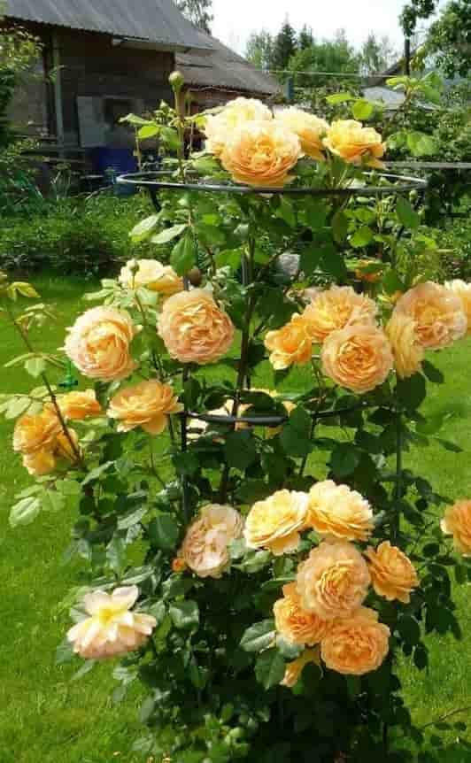 Выбор места посадки роз