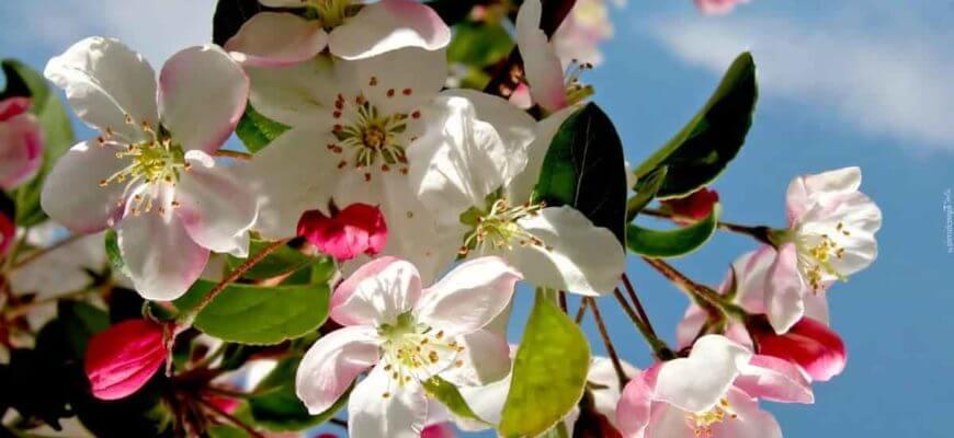 Чем обработать яблоню во время цветения