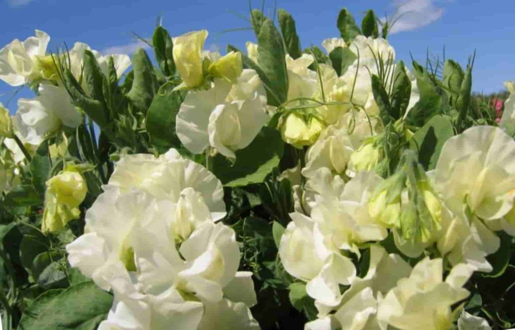 Душистый горошек с белыми цветками