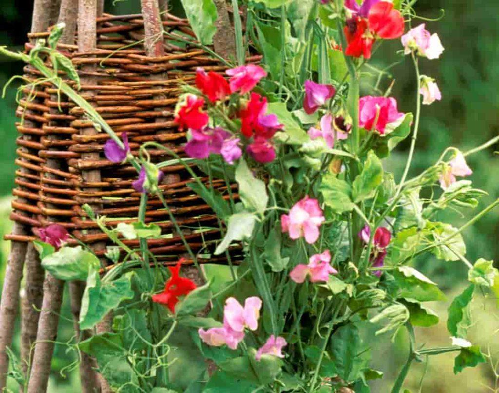 Душистый горошек в саду
