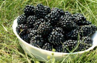 ежемалина уход и выращивание в открытом грунте