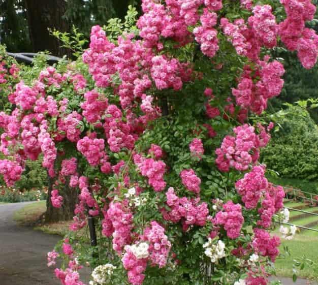 Роза Супер Дороти плетистая