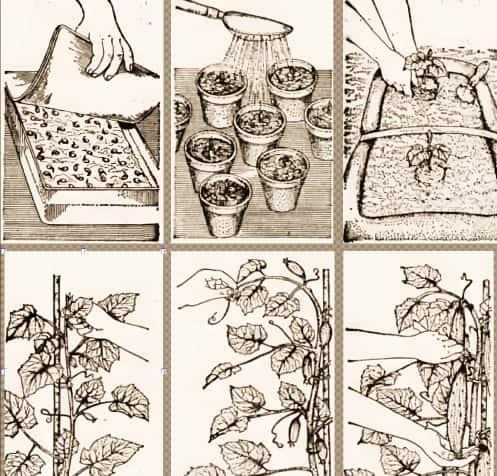 Схема выращивания огурцов