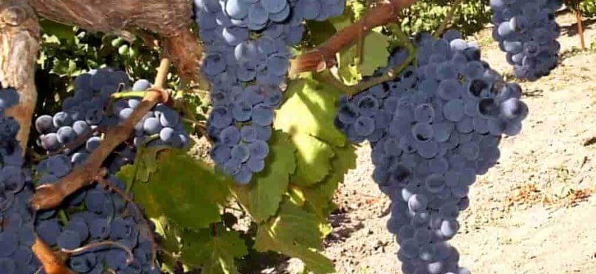 Виноград мукузани описание сорта