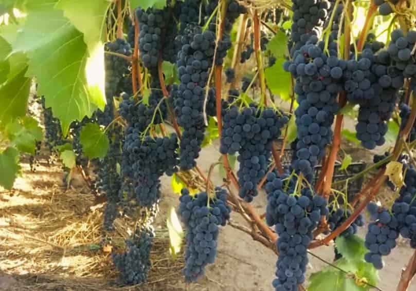 Виноград Мукузани плодородность