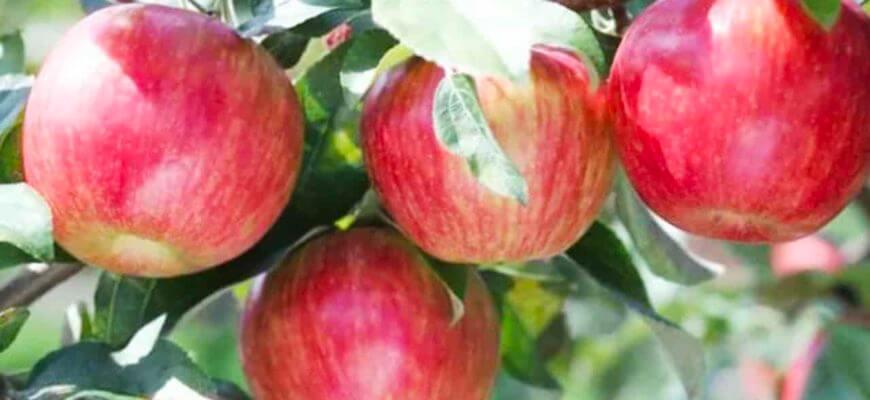 Яблоня Шафран