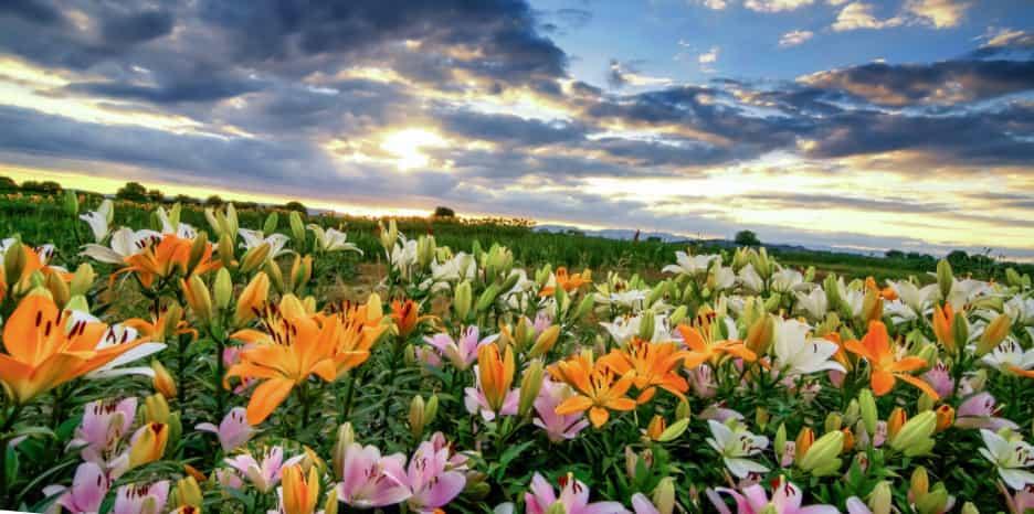 Лилейное поле