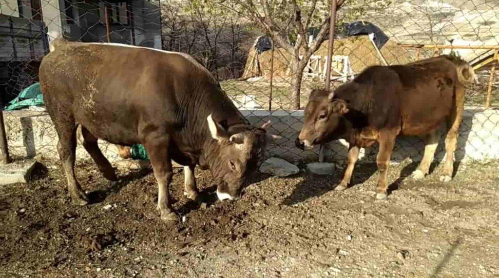 Масса взрослого самца составляет не менее 900 кг, у самки — не менее 600 кг.