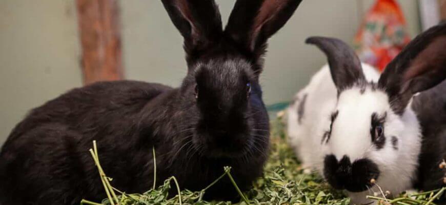 Можно ли давать кроликам пастушью сумку