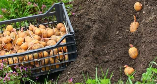 На каком расстоянии сажать картошку