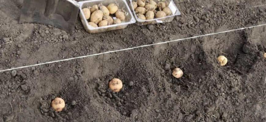 На какую глубину сажать картофель под лопату