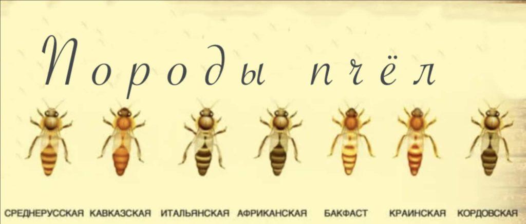 Породы пчёл