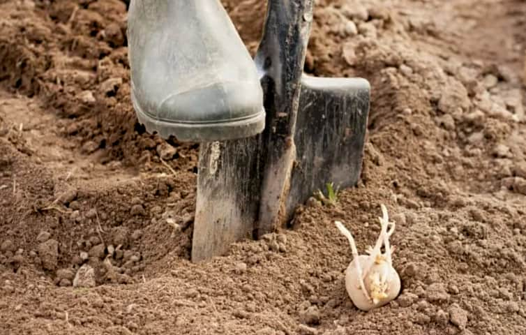 Посадка картофеля под лопату