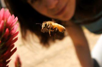 Пчелиный укус польза