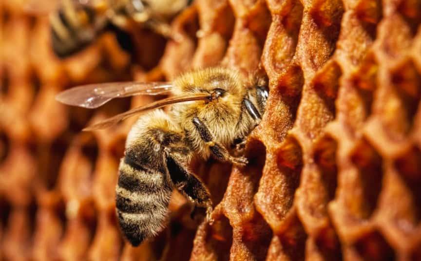 Сколько меда приносит одна пчела