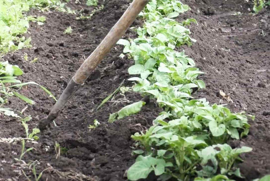Способы окучивания картофеля