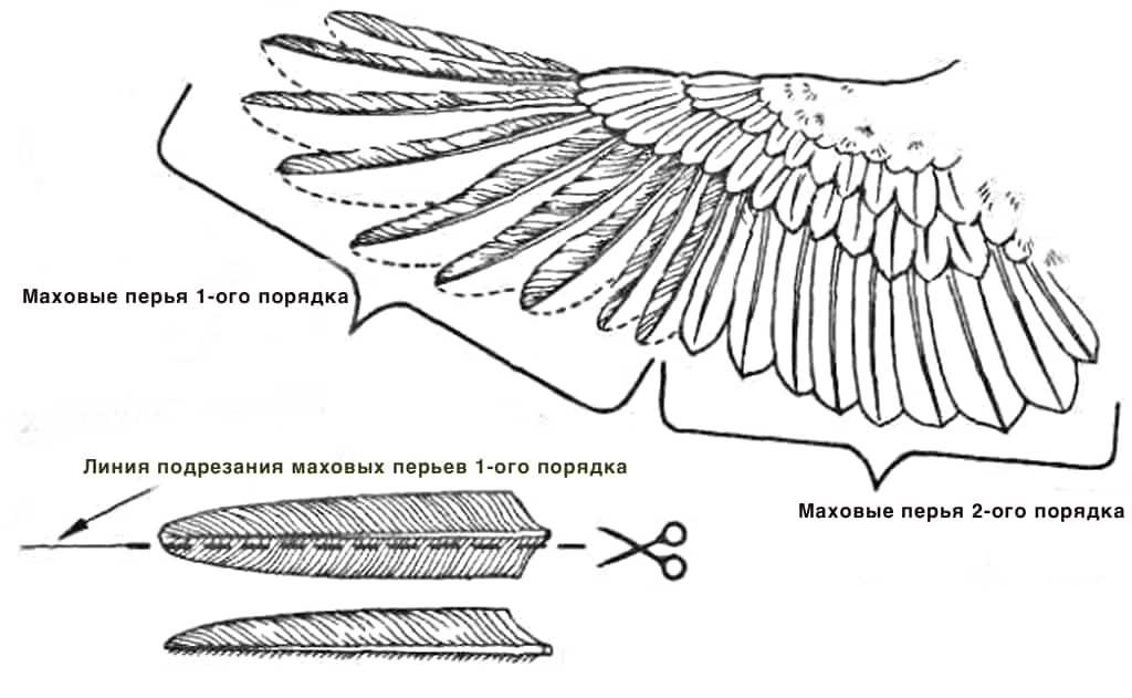 Схема подрезки крыльев у кур