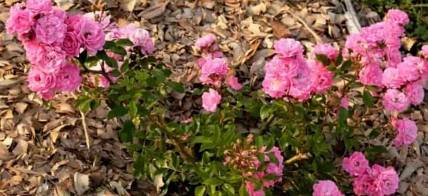 Чем замульчировать розы весной