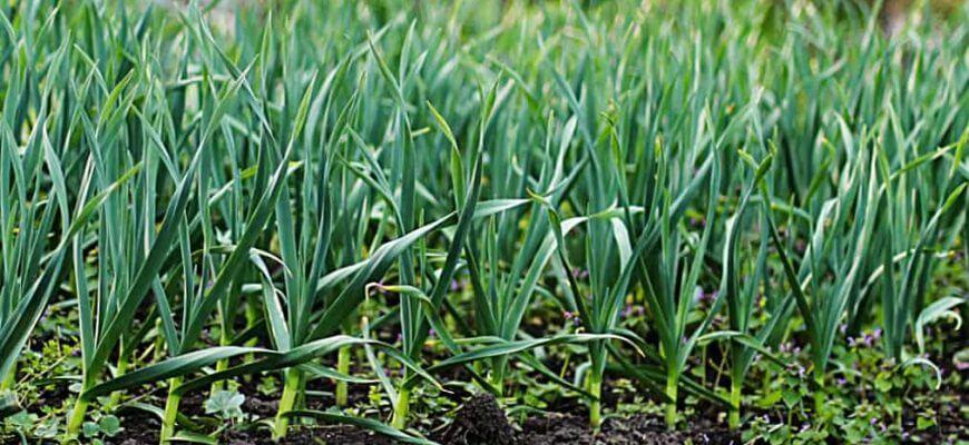 Чем подкормить чеснок весной посаженный под зиму для хорошего урожая