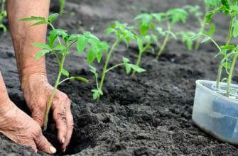 Что добавить при посадке томатов в лунку