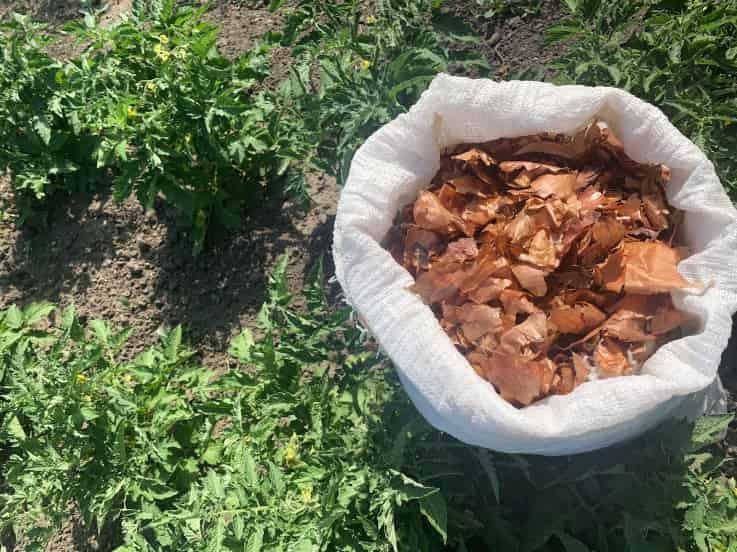 Луковая шелуха для рассады томатов