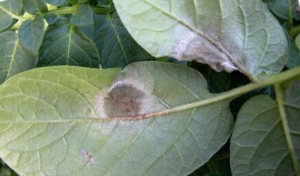 Грибница фитофтотоза на листьях картофеля