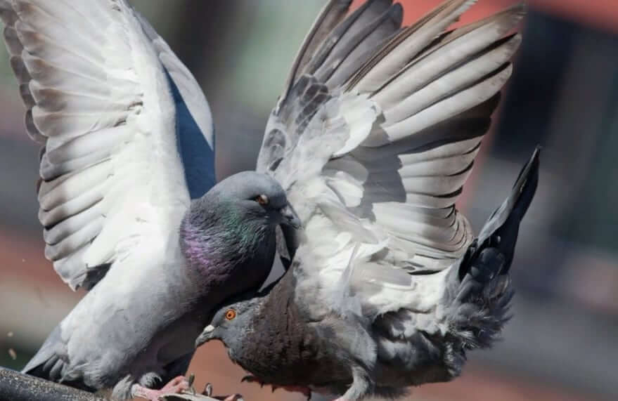 Как голуби занимаются оплодотворением