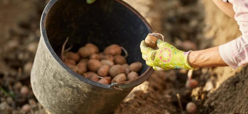 После чего можно сажать картофель на следующий год