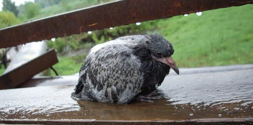 Сколько живут голуби уличные и от чего умирают