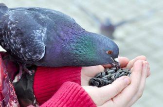 Что едят уличные голуби