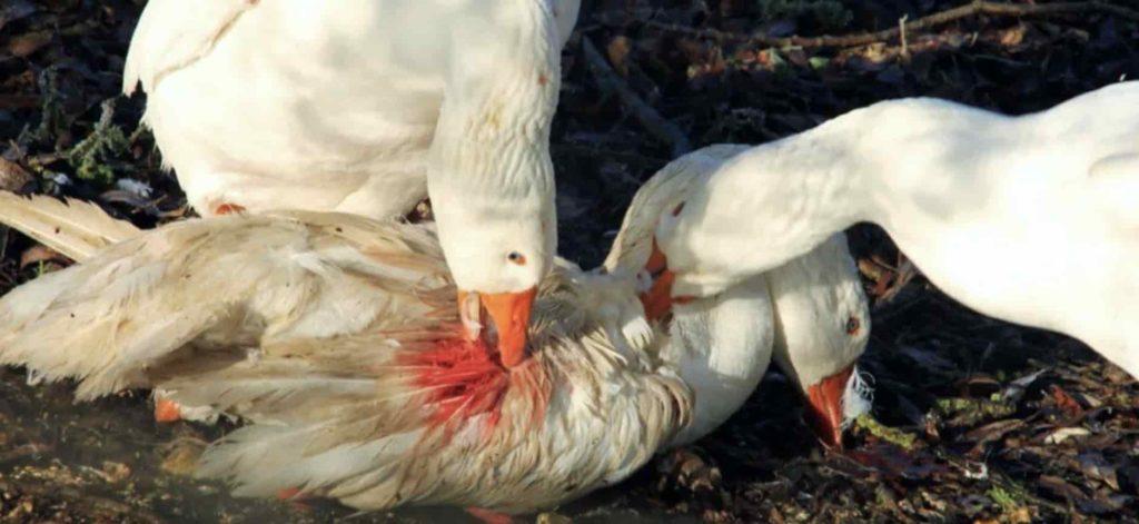 Каннибализм у гусей