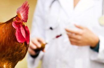 Можно ли давать Антибиотики для кур