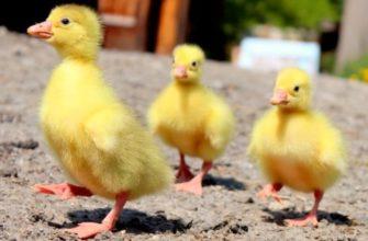 Чем кормить маленьких гусей