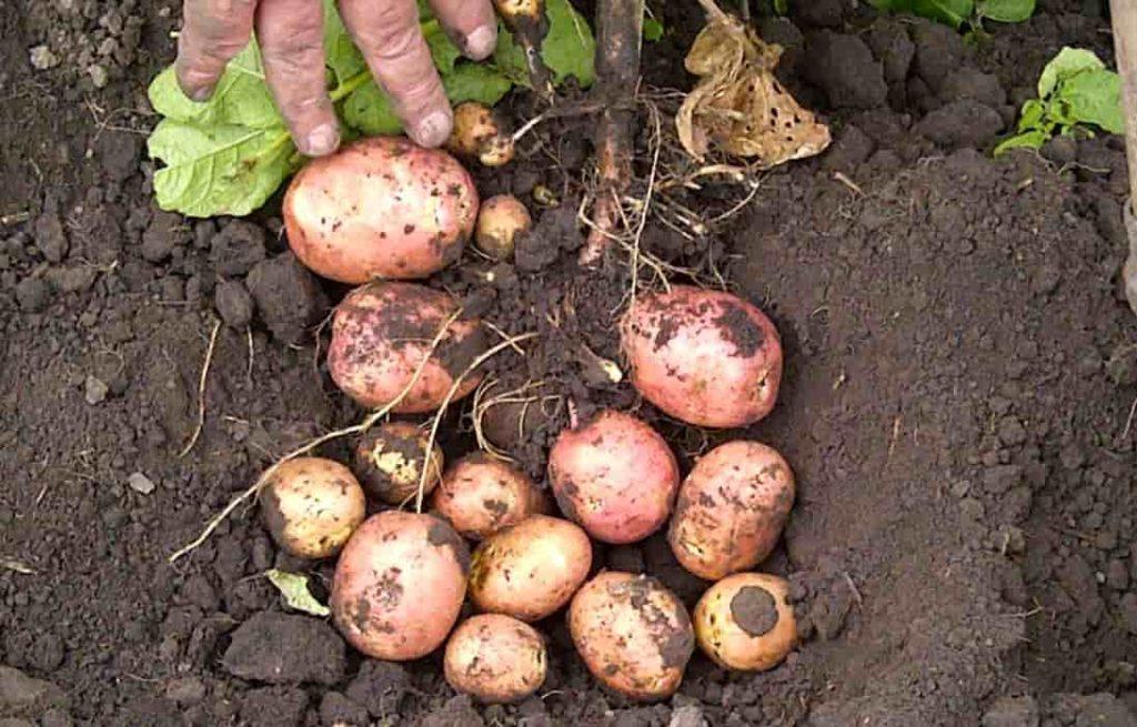 Выращивание картофеля беллароза
