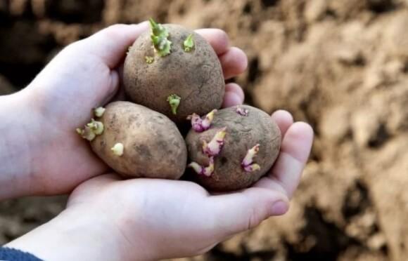 Высадка картофеля Невский в грунт
