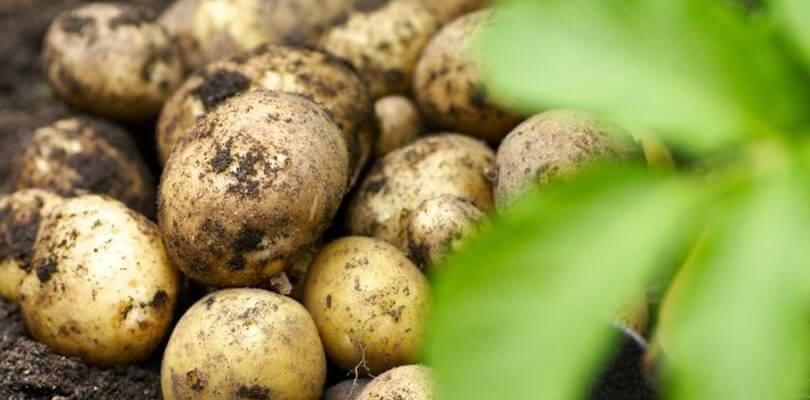 Гала сорт картофеля