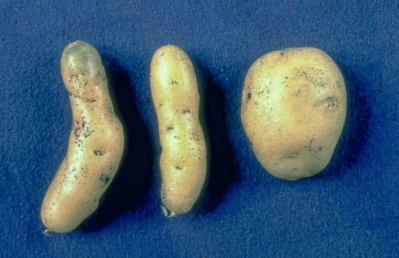 Готика картофеля