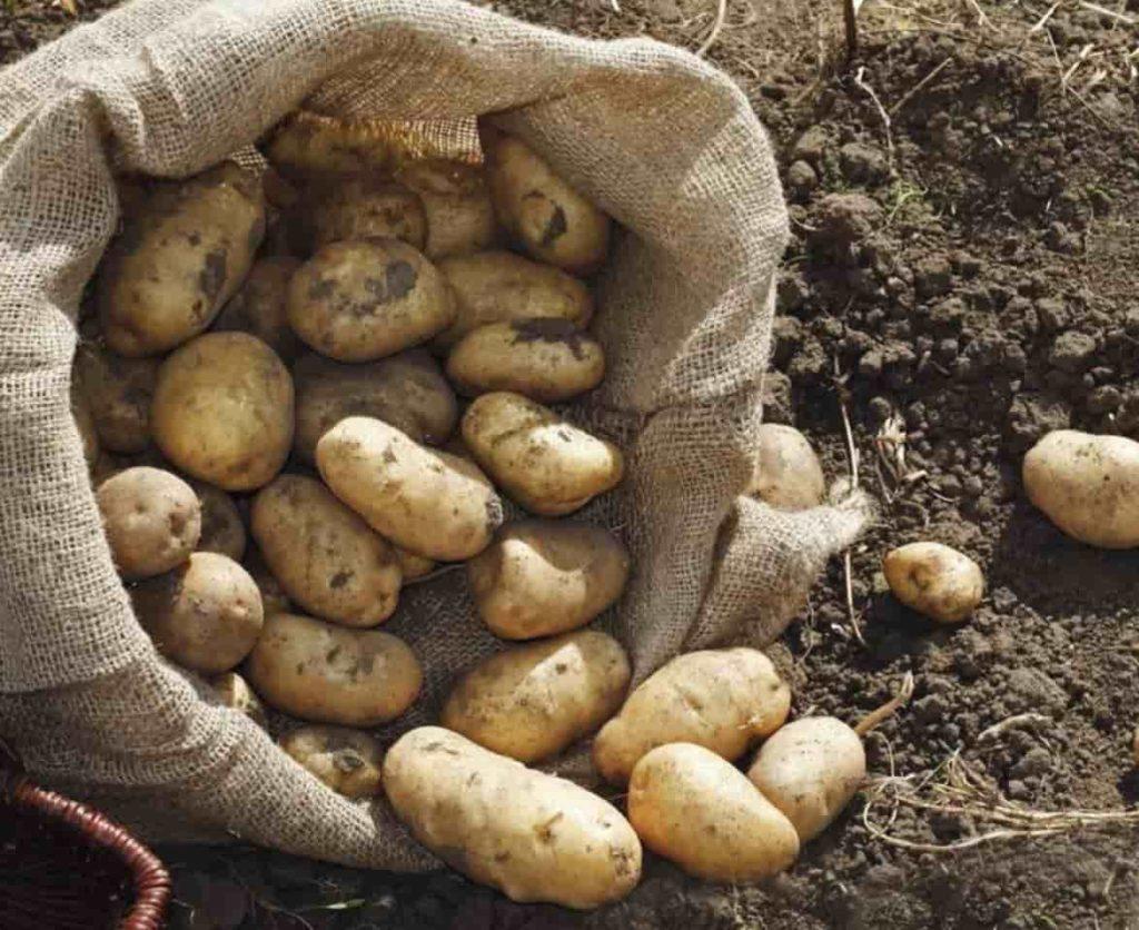 Какие сорта картошки дают самый большой урожай