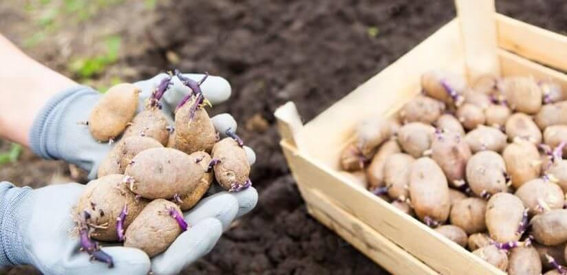 Какой картофель выбрать для посадки