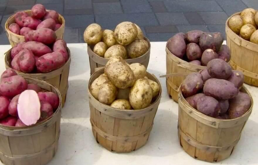 Как выбрать самый вкусный и урожайный сорт картофеля