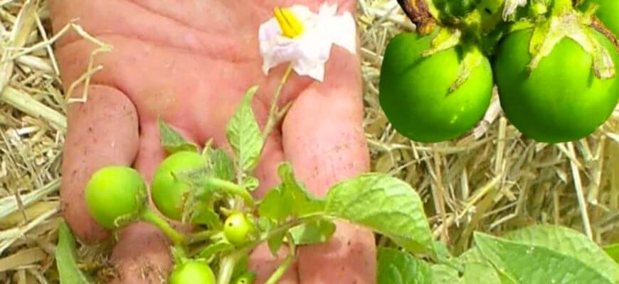 Как заготовить семена картофеля