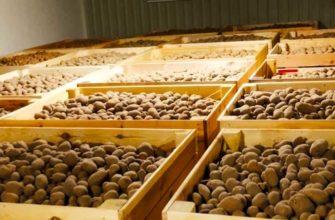 Как сохранить семенной картофель