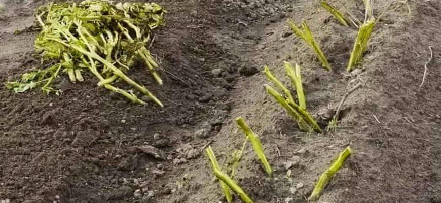 Когда скашивать ботву картофеля для хорошего урожая
