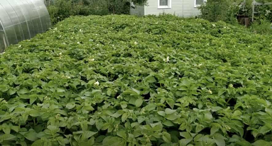 Кусты картофеля Венета
