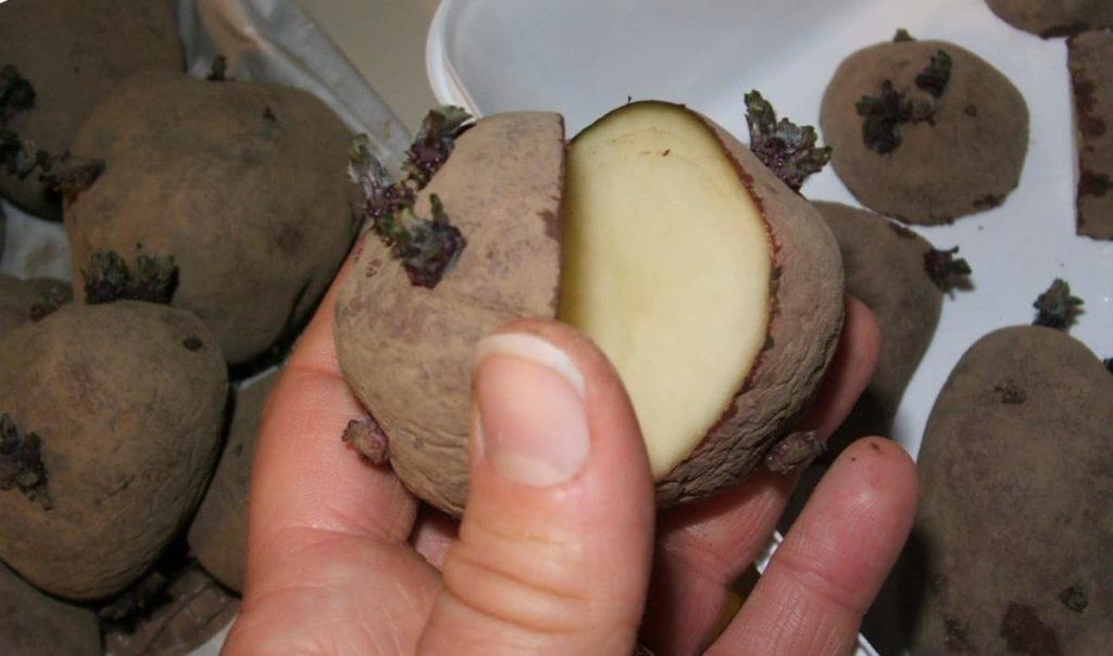 Подготовка и посадка клубней картофеля