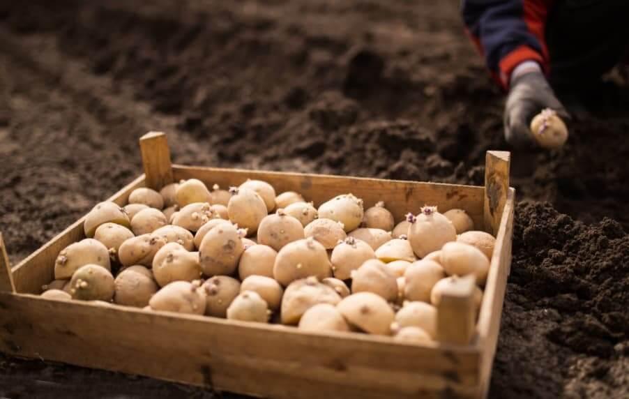 Подготовка посадочного материала картофеля